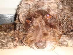 Choquette, chien Caniche