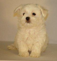 Choqui, chien Bichon maltais