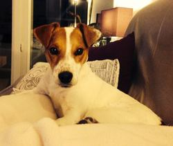 Chori, chien Jack Russell Terrier