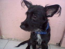 Chorkie971, chien Chihuahua