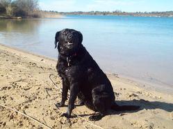 Chou, chien Labrador Retriever