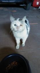 Chou-Chou, chat Européen