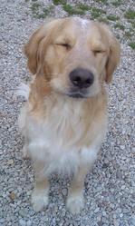 Chouba-Ka Perdu, chien Golden Retriever