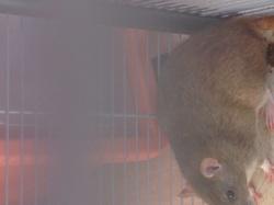 Choubaqua, rongeur Rat