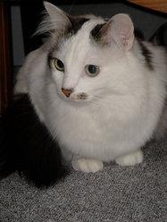 Choubaka, chat Européen