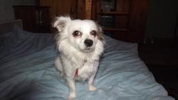 Choubi, chien Chihuahua