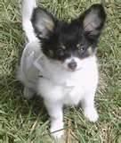 Chouchinette, chien Chihuahua