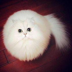 Chouchou, chat Gouttière