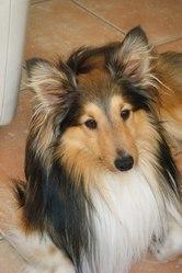 Chouchou, chien Berger des Shetland