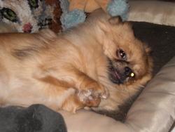 Chouchou, chien Chihuahua