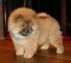 Chouchou , chien Chow-Chow