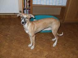 Chouchou, chien Lévrier espagnol