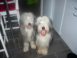 Charly Et Chloé, chien Bearded Collie