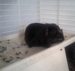 Chouchou, rongeur Cochon d'Inde