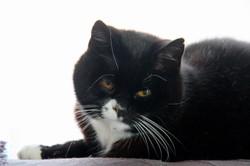 Chouchou, chat Européen