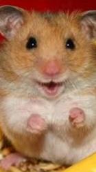 Chouchou , rongeur Hamster