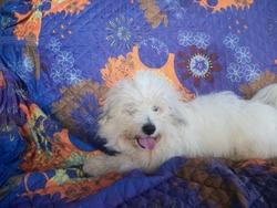 Chouchou, chien Coton de Tuléar
