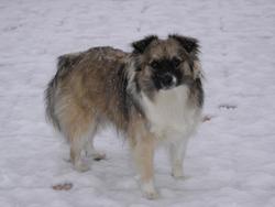 Chouchou, chien Pékinois