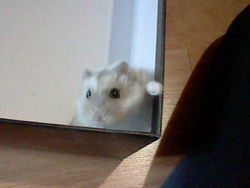 Chouckette, rongeur Hamster