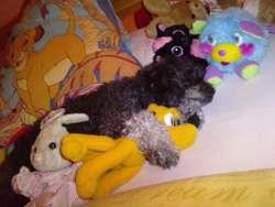 Adieu Chouckie, chien Caniche