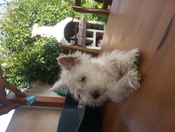 Choukette, chien West Highland White Terrier