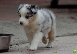 Choukette , chien Berger australien