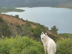 Chouki, chien Berger blanc suisse