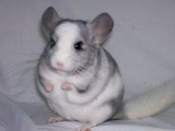 Chouki, rongeur Chinchilla