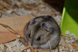 Chouki, rongeur Hamster