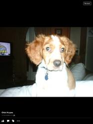 Chouki, chien Épagneul breton