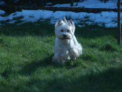 Chouky, chien Welsh Terrier