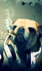Choupa, chien Carlin