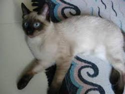Choupa, chat Siamois