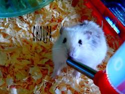Choupa, rongeur Hamster