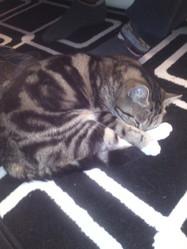 Choupépette, chat Gouttière
