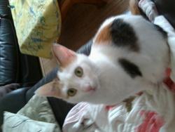 Choupette, chat Européen