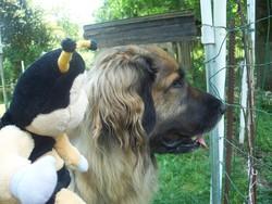 Choupette, chien Leonberger