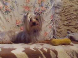 Choupette , chien Yorkshire Terrier