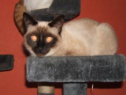 Choupette, chat Siamois