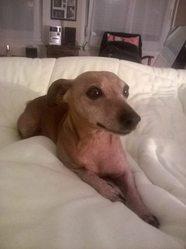 Choupette, chien Pinscher
