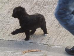 Choupette, chien Bichon à poil frisé
