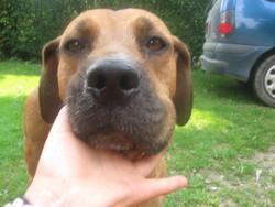 Choupette, chien Dogue de Bordeaux