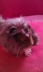 Choupette, rongeur Cochon d'Inde