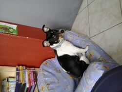 Choupette, chien Jack Russell Terrier