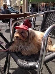 Choupette, chien Bichon havanais