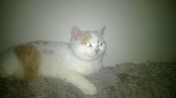 Choupette, chat British Shorthair