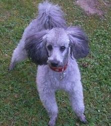 Choupette, chien Caniche