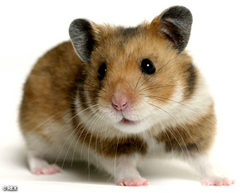 Choupette, rongeur Hamster