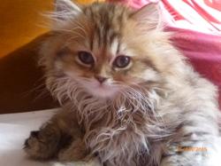 Choupette, chat Persan