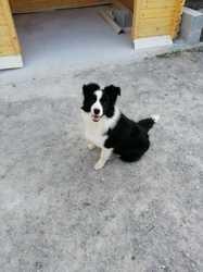 Choupette, chien Border Collie